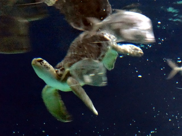 sea turtle at the OdySea Aquarium in the Desert