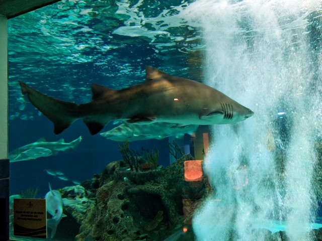 shark at the OdySea Aquarium in the Desert