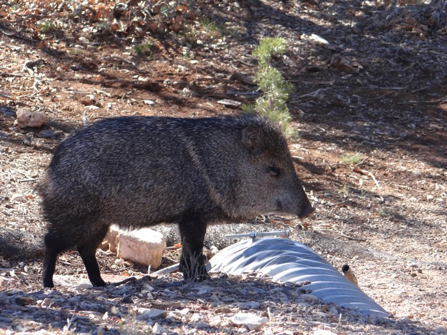 Tayassu tajacu (javelina) at the Grand Canyon