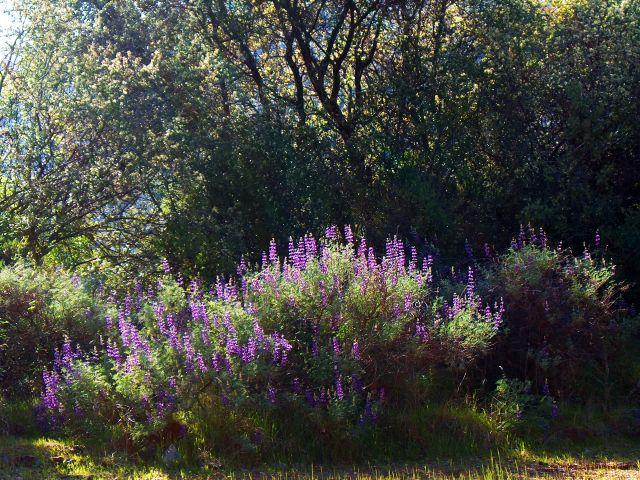 Lupinus albifrons (silver bush lupine)