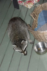 raccoons 1.jpg