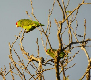 Pair of Mexican Red Headed Amazons
