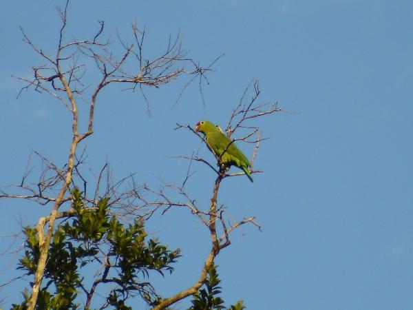A Red Lored Amazon at Laguna del Lagarto