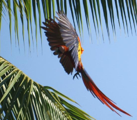 A landing scarlet macaw in Curu, photo copyright Karen Webster