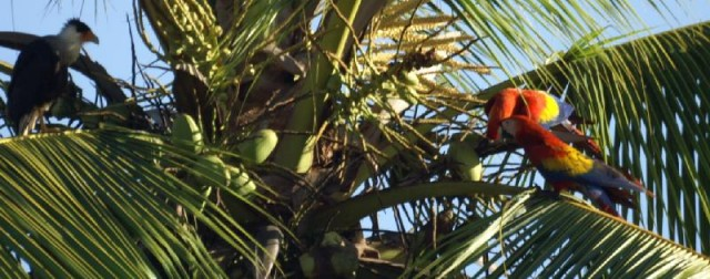 ...2 Scarlet Macaws, and a Crested Caracara in a palm tree...