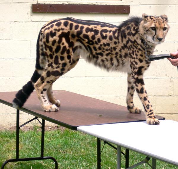 Acinonyx_jubatus_King_Cheetah