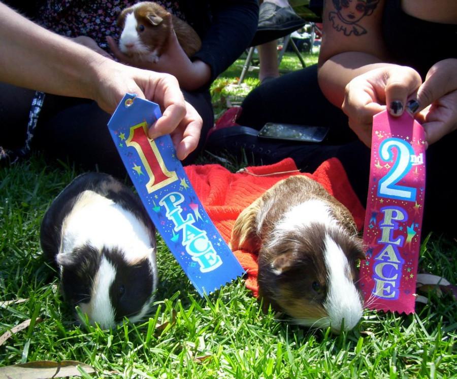 contest pigs
