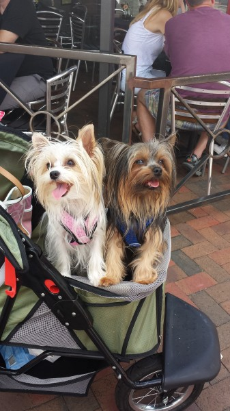 Asheville Yorkies
