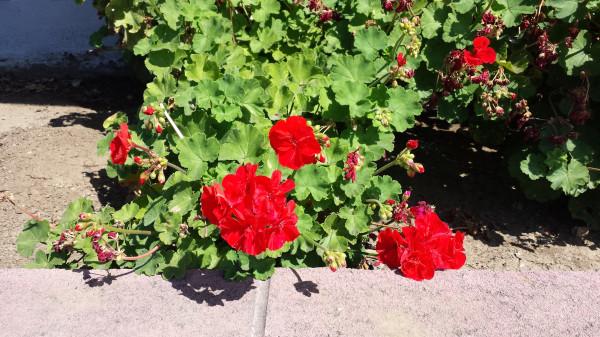 LA close geraniums