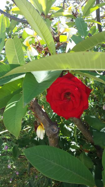 LA red rose
