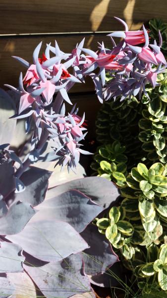 LA succulent