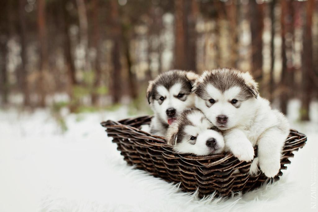 месячные щенки маламуты. фотограф Павел Кузьмин