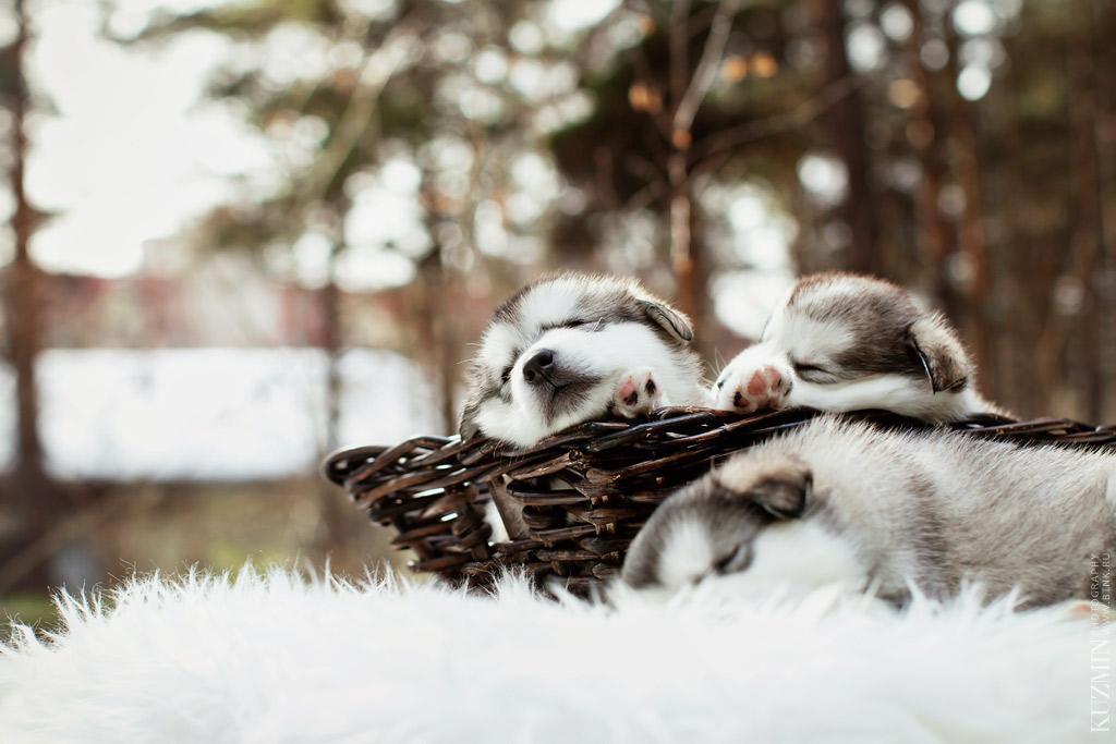 щенок маламута. фотограф Павел Кузьмин