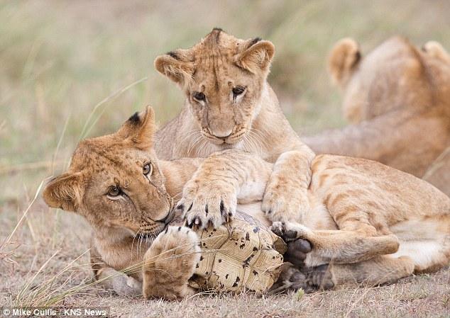...Позитивные фотографии молодых львят.  Приятного просмотра.