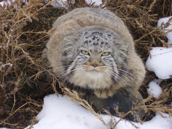 Дикий кот - манул