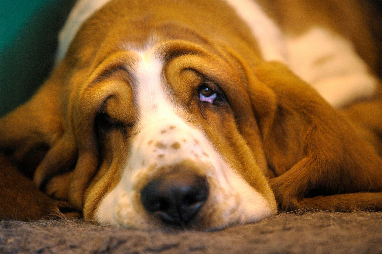Animals___Dogs_Very_sad_basset_hound_049583_