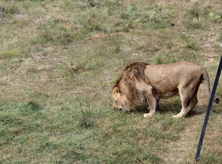 очень старый лев!