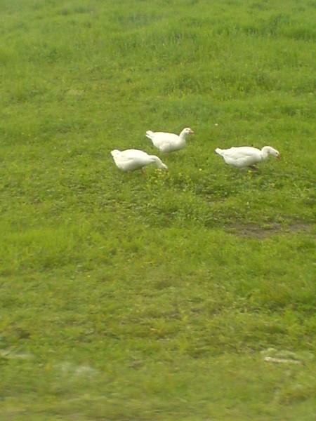 гуси башкирские