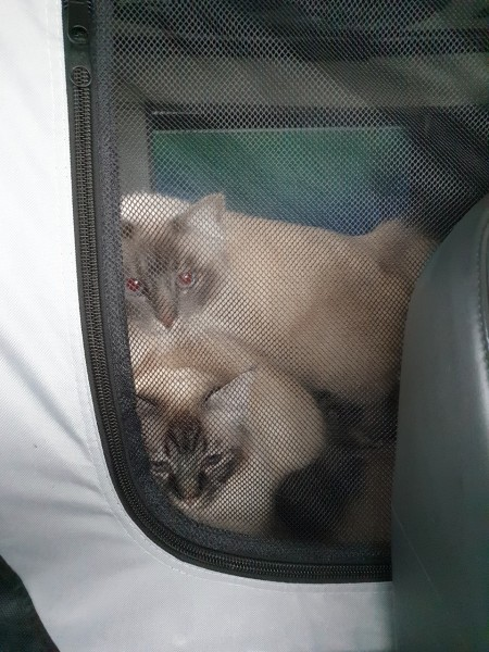 cats in the car.jpg