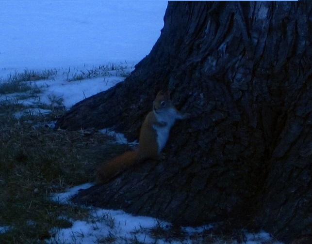 redsquirrel2