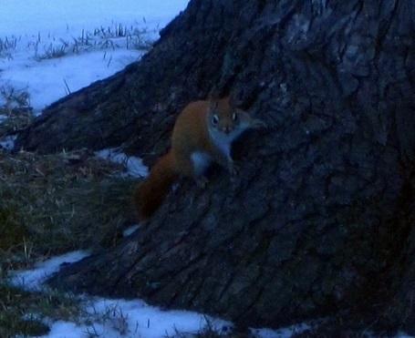 redsquirrel3