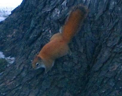 redsquirrel4