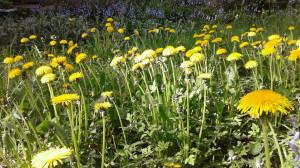 dandelion flower perspective-2