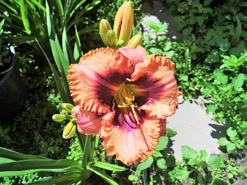 Лето 2016, цветник под окном