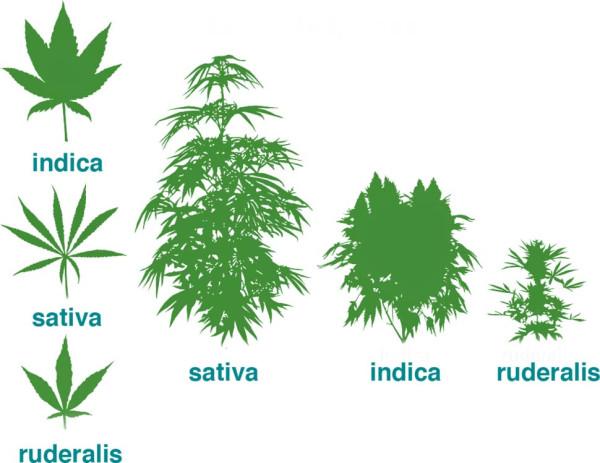 Конопля как наркотическое вещество чем очистится от марихуаны
