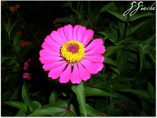 Chrysanthemum merah jambu malam Lenggong tepian danau