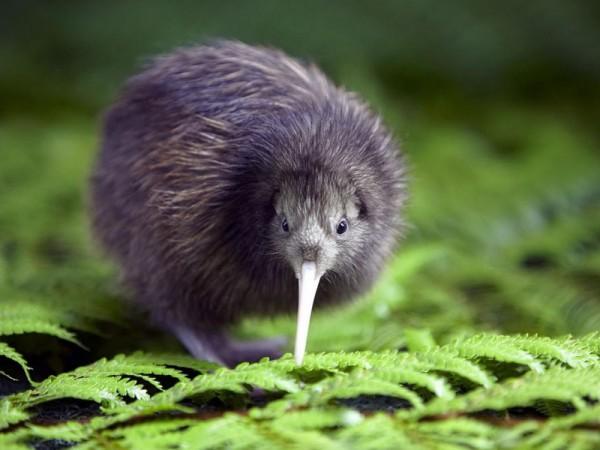 Птица_киви_национальный_симовл_Новой_Зеландии_Австралия_Океания-Kiwi_bird_national_symbol_New_Zealand_Australia_Oceania