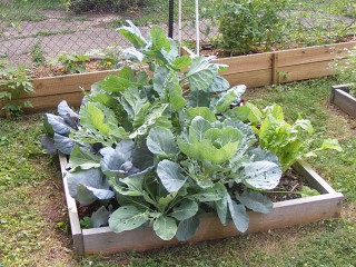 The cabbage (and chard) patch.