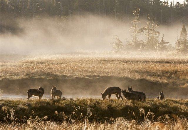 animals, photo, wolf, волки, вечер