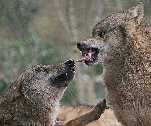 animals, photo, wolf, волки