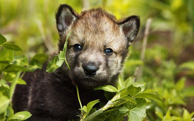 animals, photo, wolf, волки, волчата, вечер