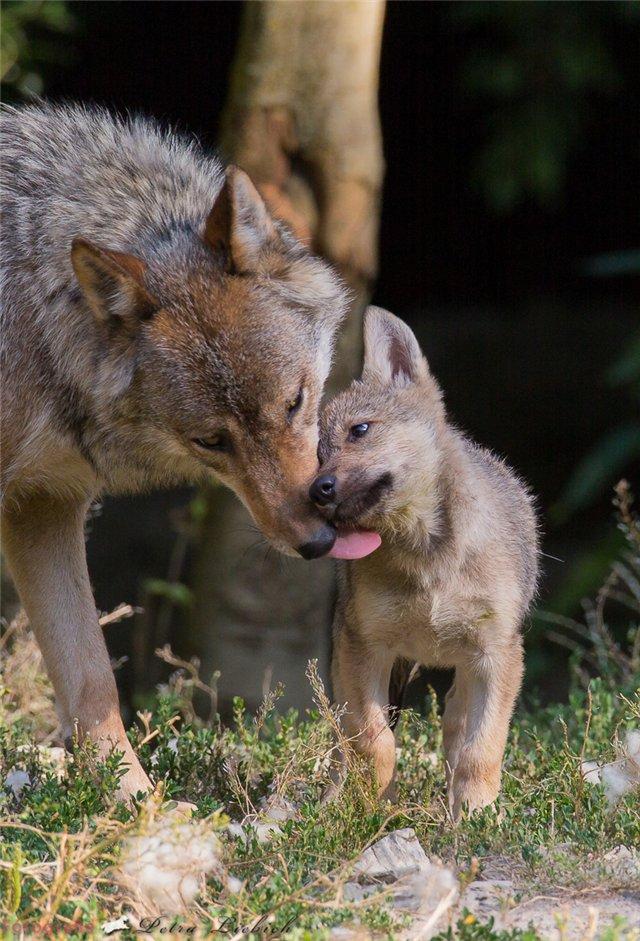 animals, photo, wolf, волки, волчата, день