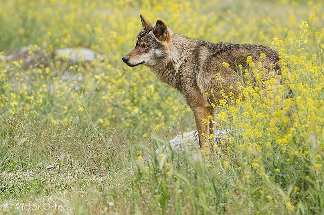 animals, photo, wolf, волки, день