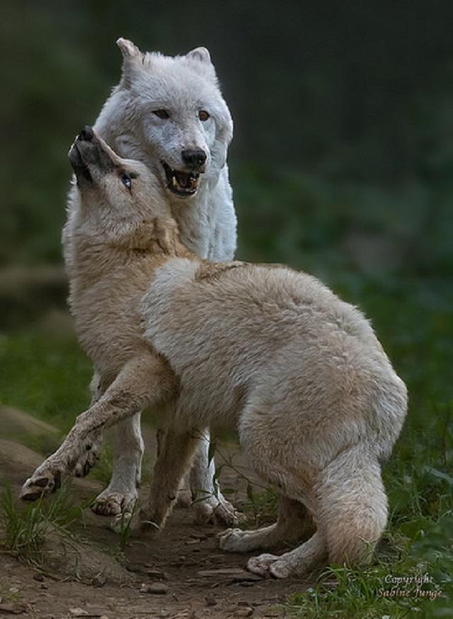 animals, photo, wolf, волки, волчата, утро