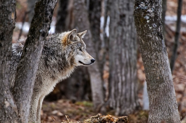 animals, photo, wolf, волки, утро