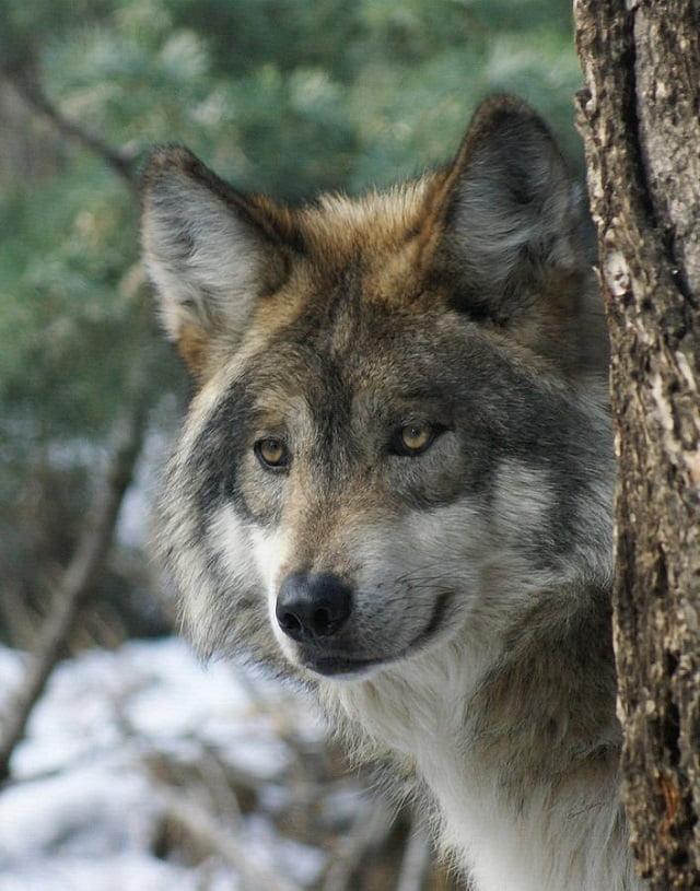 animals, photo, wolf, волки, утро