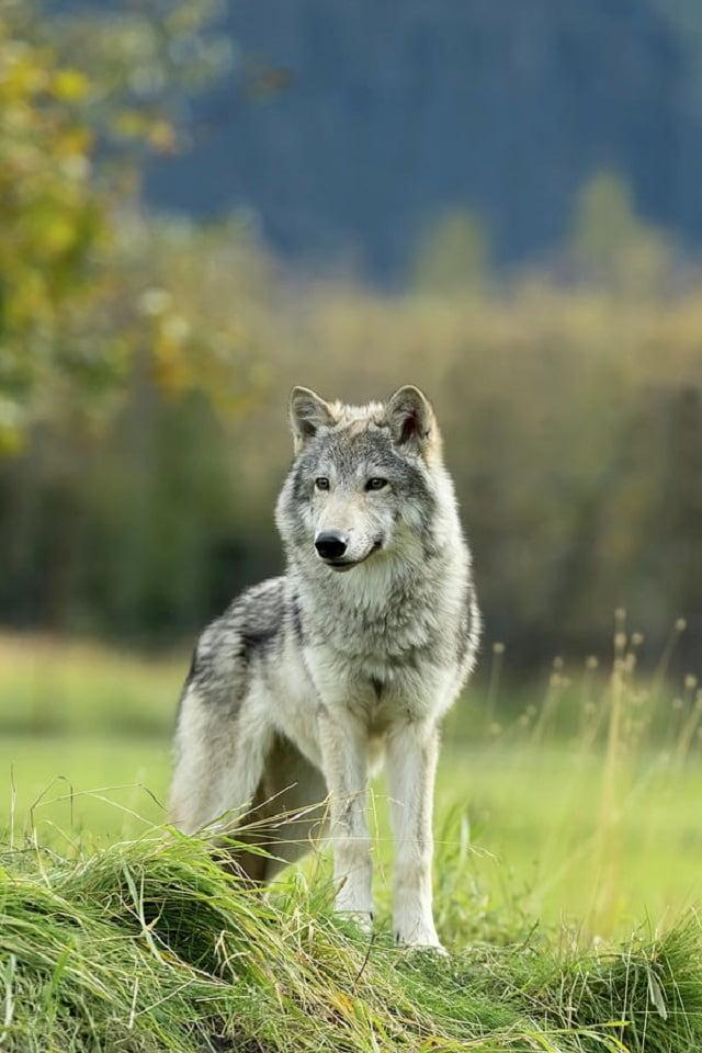 волки, утро, animals, photo, wolf