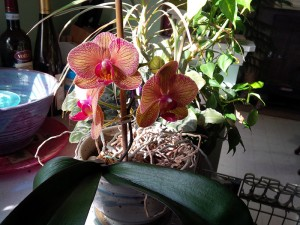 large_orchids_opening