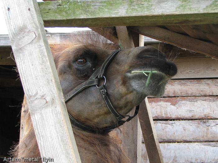 Верблюд, Киевская область, Ясногородка, страусиная ферма, мини-зоопарк