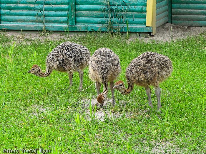 Киевская область, Ясногородка, страусиная ферма