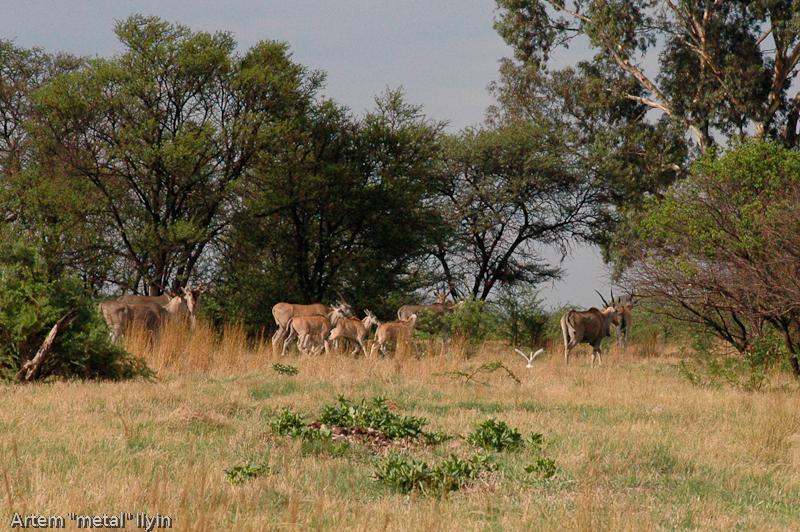 Орикс или сернобык. Природный заповедник Ferroland возле завода  Vanderbijlpark Mittal Steel South Africa Южная Африка
