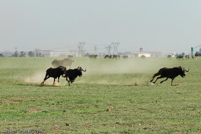Антилопа гну. Природный заповедник Ferroland возле завода Vanderbijlpark Mittal Steel South Africa Южная Африка