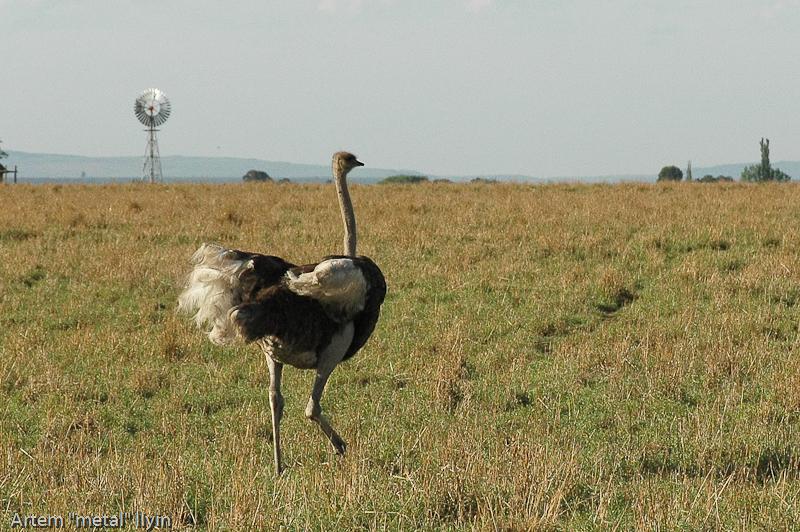 Африканский страус. Природный заповедник Ferroland возле завода Vanderbijlpark Mittal Steel South Africa Южная Африка