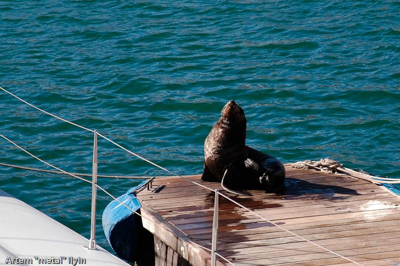 Морской котик - символ КейпТауна Южная Африка