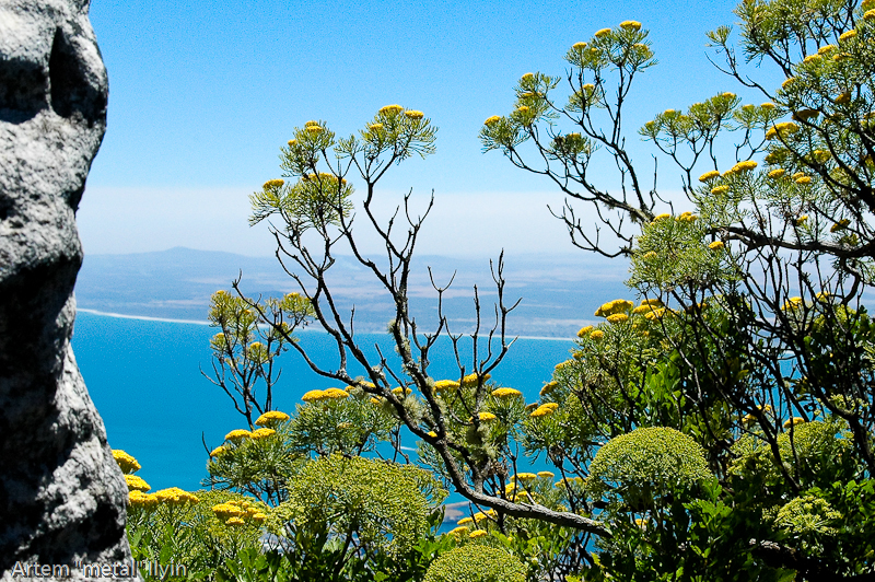Африканские растения на скалах Столовой горы, Кейптаун, Южная Африка