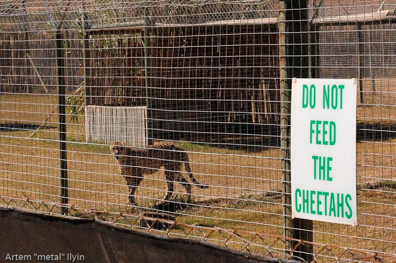 Гепард - один из главных африканских хищников на виноградной ферме в пригороде КейпТауна, Южная Африка